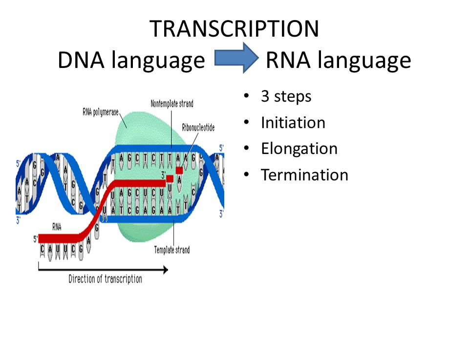 TRANSCRIPTION DNA language RNA language 3 steps Initiation Elongation Termination