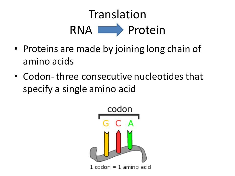 Proteins are made by joining long chain of amino acids Codon- three consecutive nucleotides that specify a single amino acid