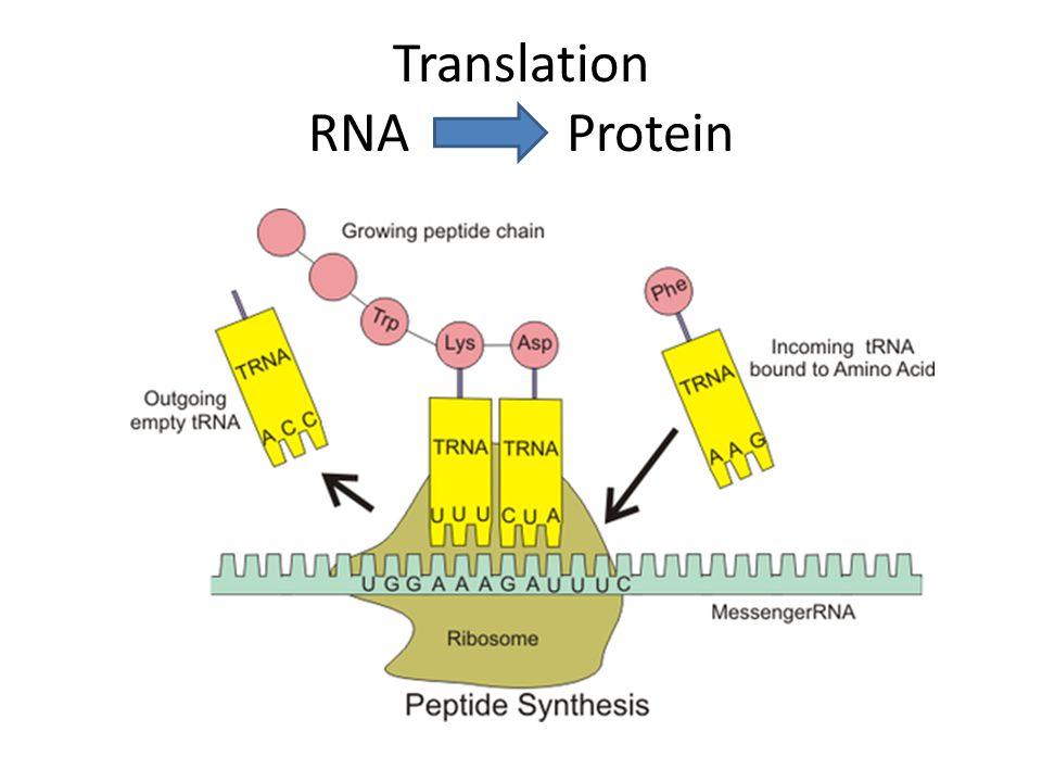 Translation RNA Protein