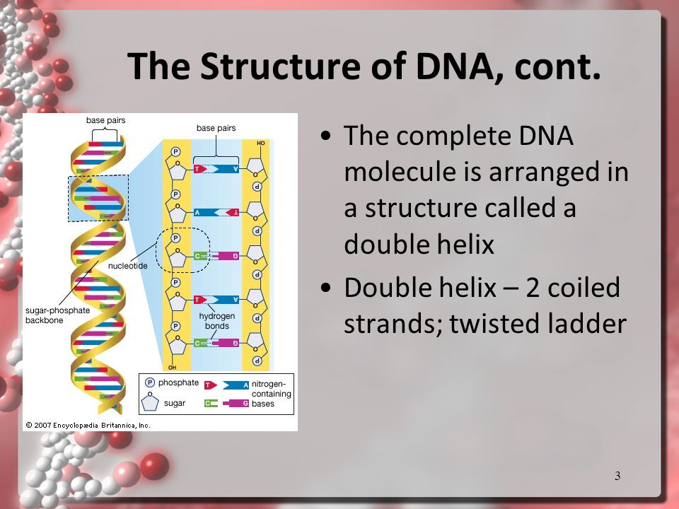 The Structure of DNA, cont.