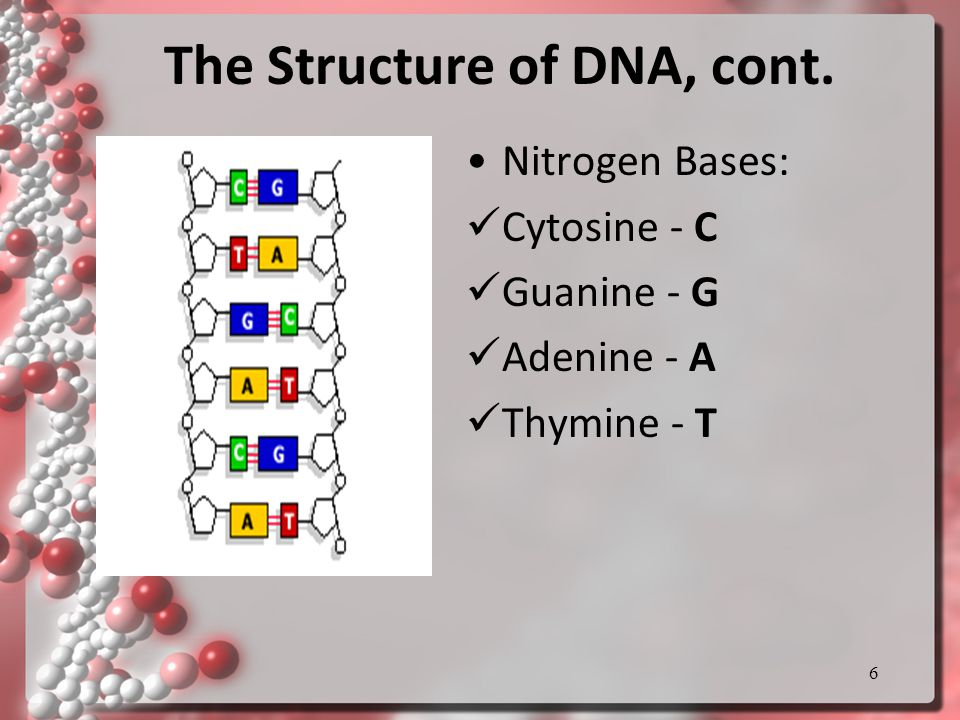 The Structure of DNA, cont. Nitrogen Bases: Cytosine - C Guanine - G Adenine - A Thymine - T 6