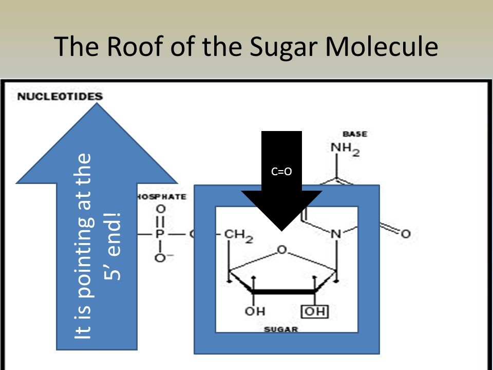 The Roof of the Sugar Molecule C=O It is pointing at the 5' end!
