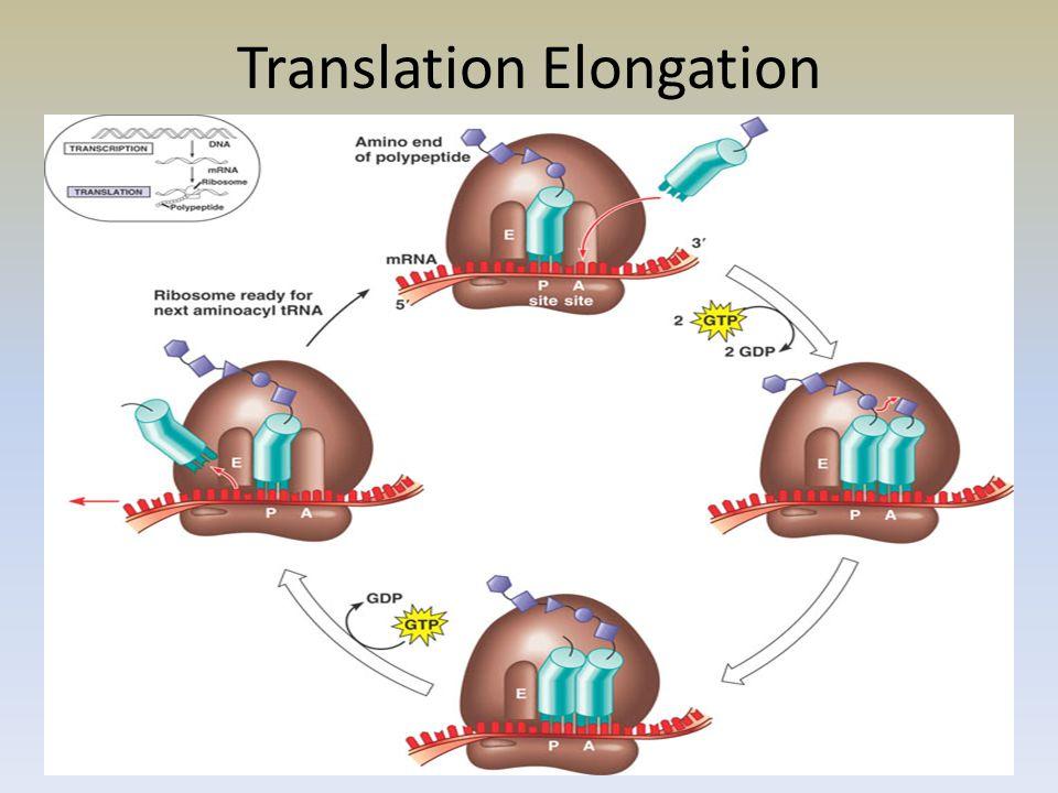 Translation Elongation