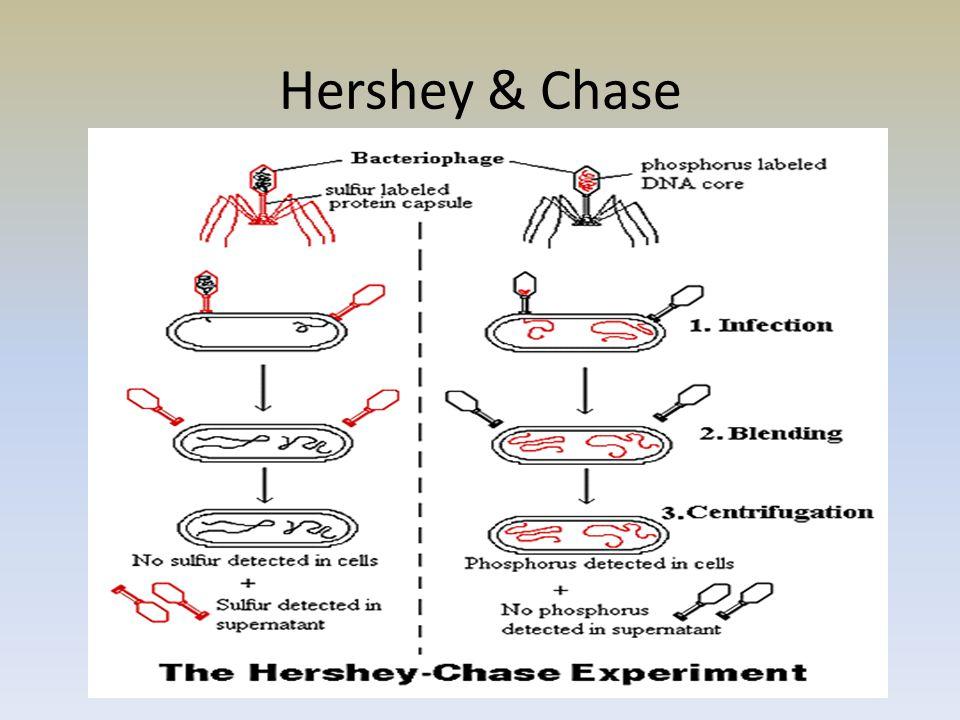 Hershey & Chase