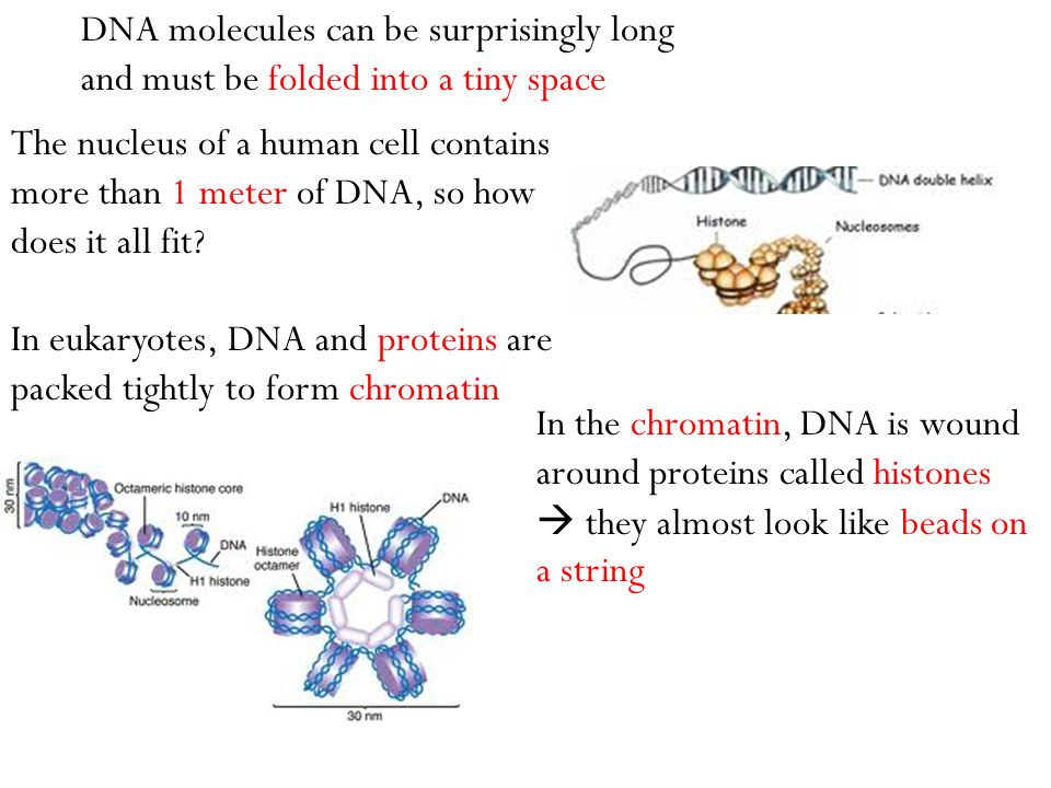 The nucleus of a human cell contains more than 1 meter of DNA, so how does it all fit? In eukaryotes, DNA and proteins are packed tightly to form chro