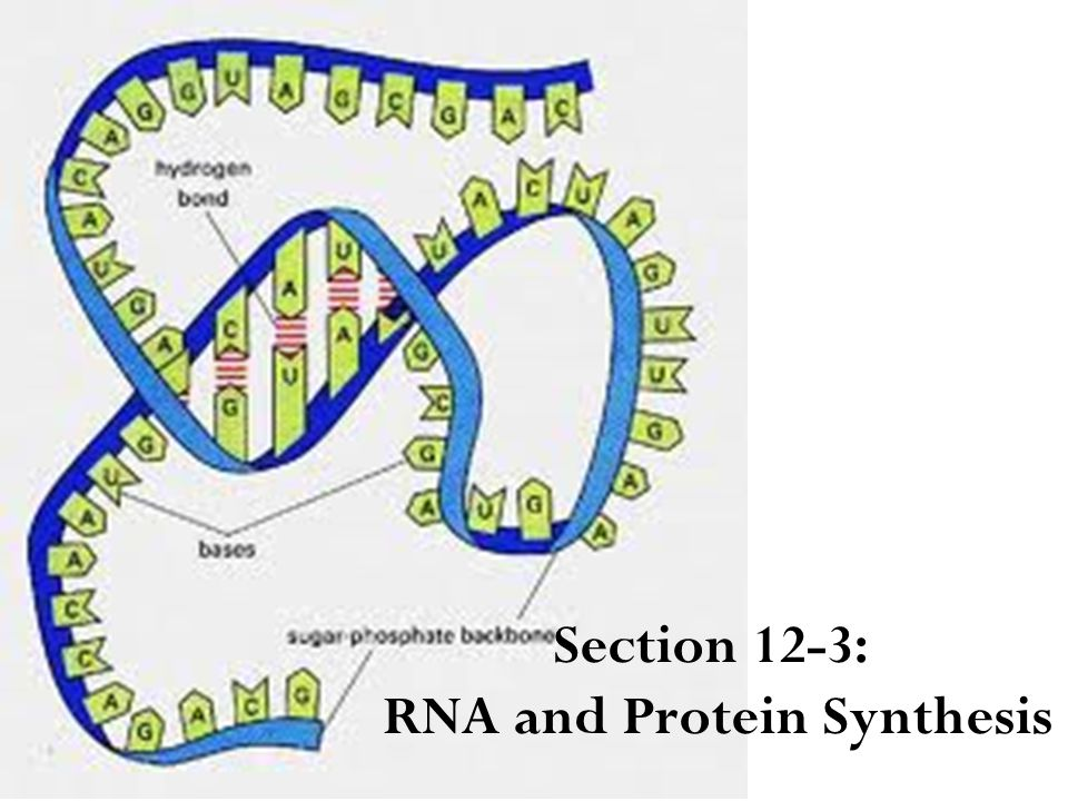 Section 12-3: RNA and Protein Synthesis