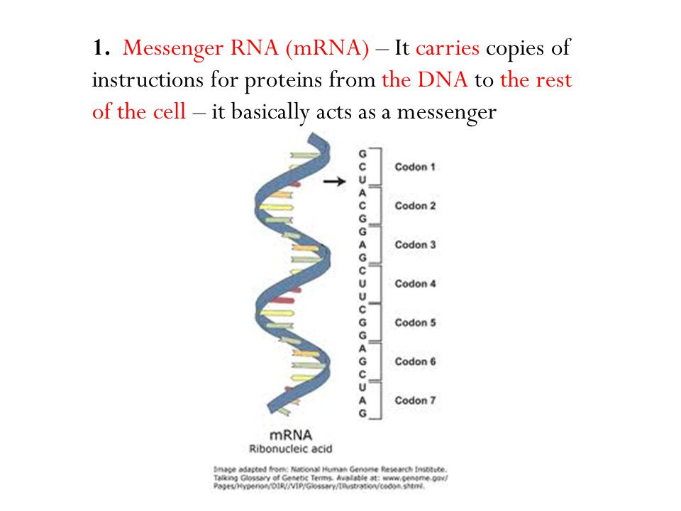 1. Messenger RNA (mRNA) – It carries copies of instructions for proteins from the DNA to the rest of the cell – it basically acts as a messenger