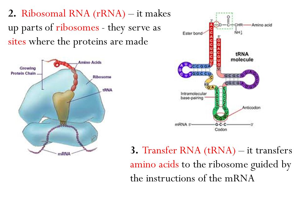 2. Ribosomal RNA (rRNA) – it makes up parts of ribosomes - they serve as sites where the proteins are made 3. Transfer RNA (tRNA) – it transfers amino