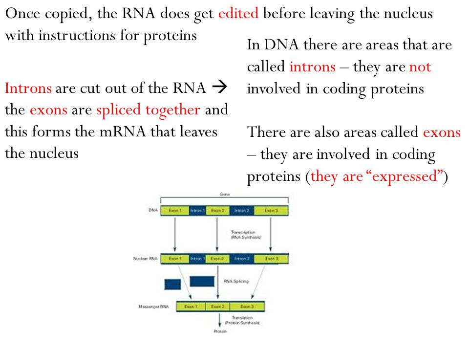 In DNA there are areas that are called introns – they are not involved in coding proteins There are also areas called exons – they are involved in cod