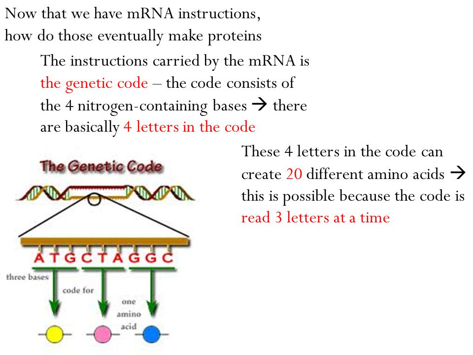 The instructions carried by the mRNA is the genetic code – the code consists of the 4 nitrogen-containing bases  there are basically 4 letters in the