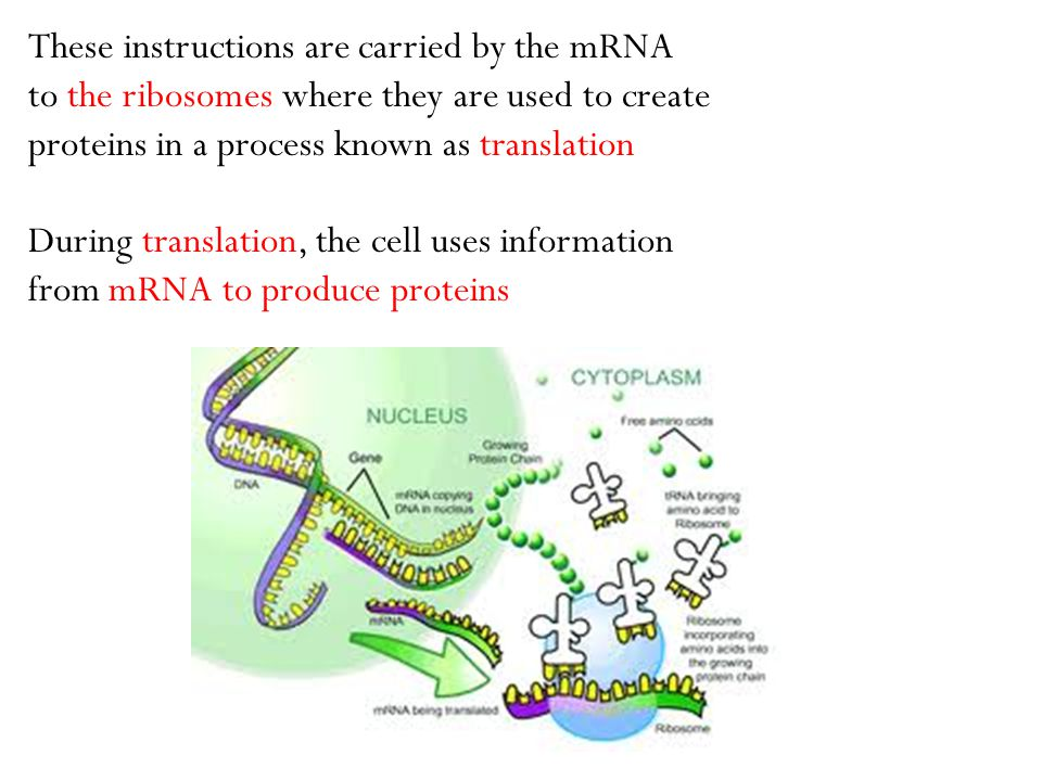 These instructions are carried by the mRNA to the ribosomes where they are used to create proteins in a process known as translation During translatio