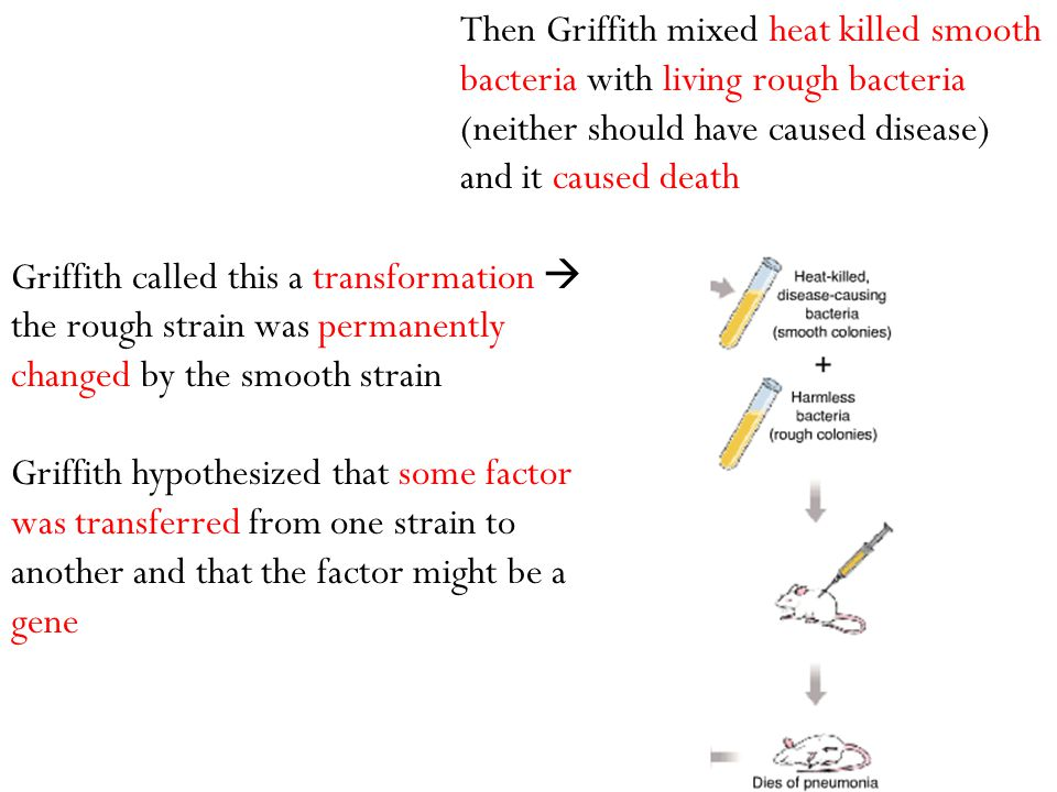 Griffith called this a transformation  the rough strain was permanently changed by the smooth strain Griffith hypothesized that some factor was trans