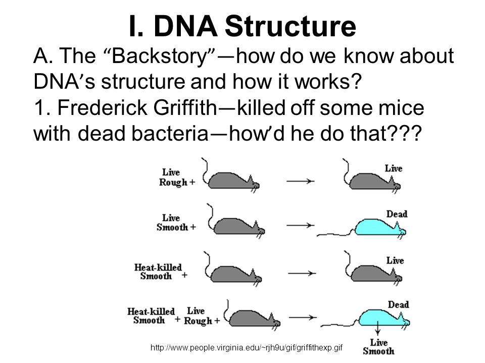 "http://www.people.virginia.edu/~rjh9u/gif/griffithexp.gif I. DNA Structure A. The "" Backstory ""— how do we know about DNA ' s structure and how it wor"
