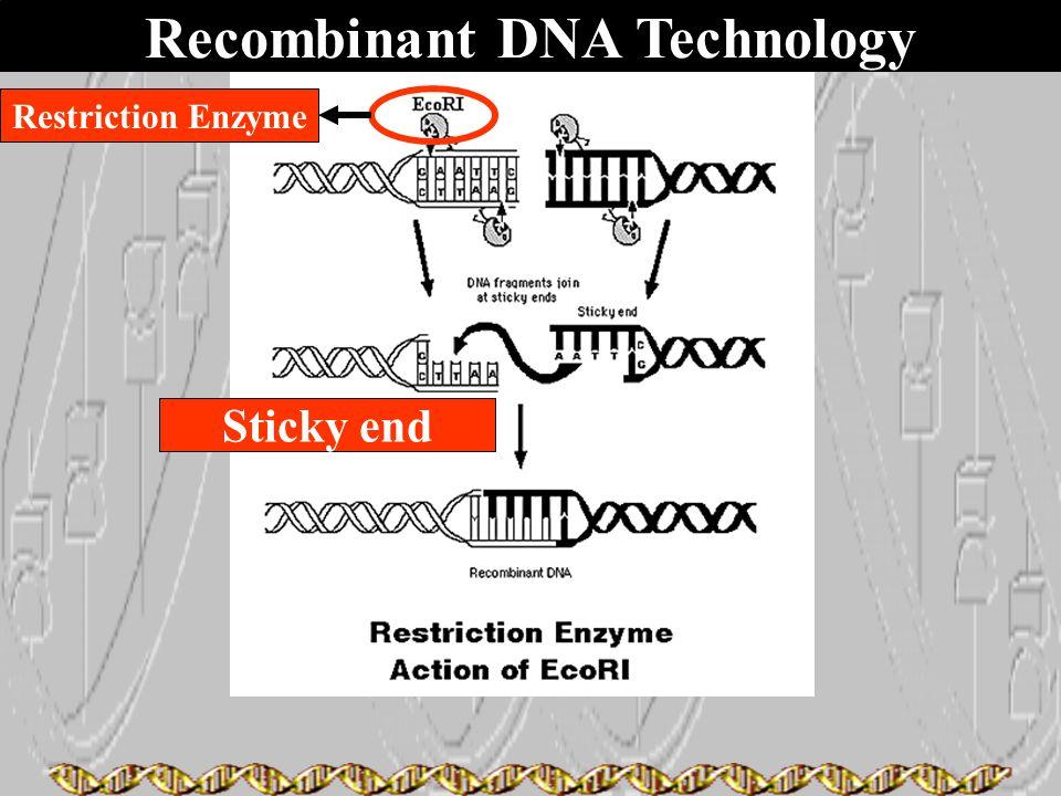Recombinant DNA Technology Sticky end Restriction Enzyme