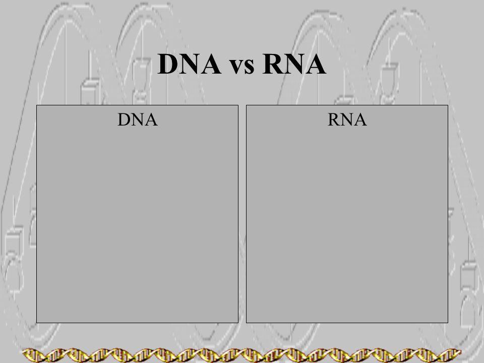 DNA vs RNA DNARNA