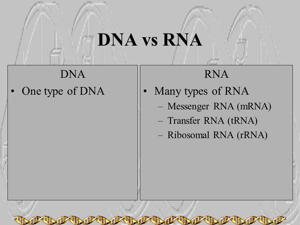 DNA vs RNA DNA One type of DNA RNA Many types of RNA –Messenger RNA (mRNA) –Transfer RNA (tRNA) –Ribosomal RNA (rRNA)
