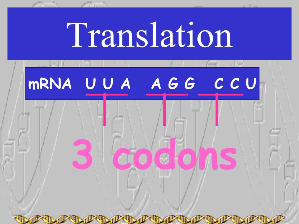 Translation mRNA U U A A G G C C U 3 codons