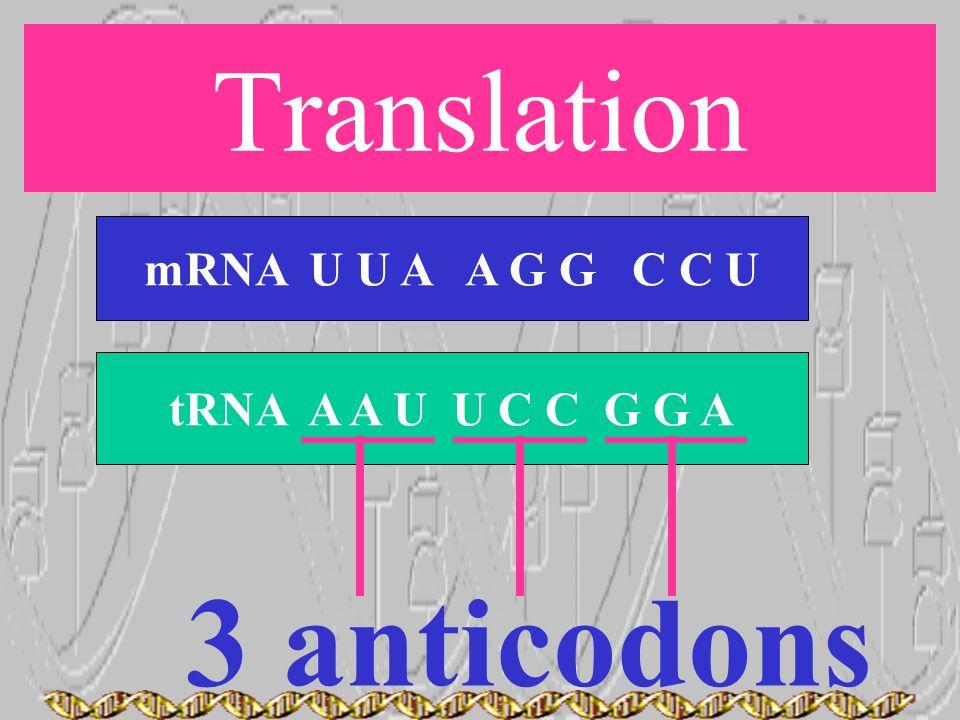 Translation mRNA U U A A G G C C U tRNA A A U U C C G G A 3 anticodons