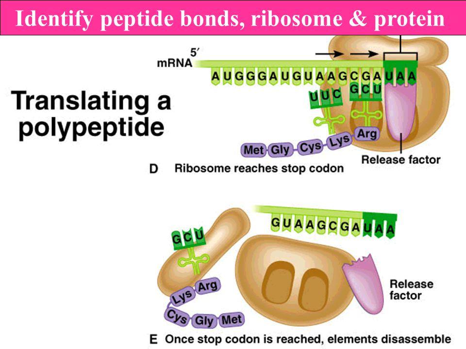 Identify peptide bonds, ribosome & protein