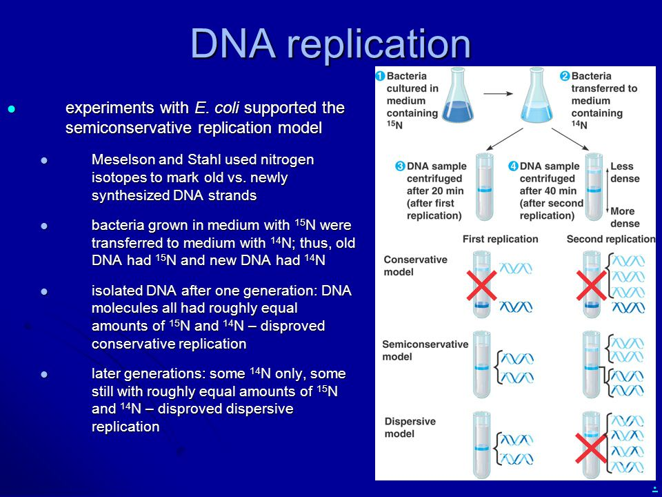 . DNA replication experiments with E. coli supported the semiconservative replication model experiments with E. coli supported the semiconservative re