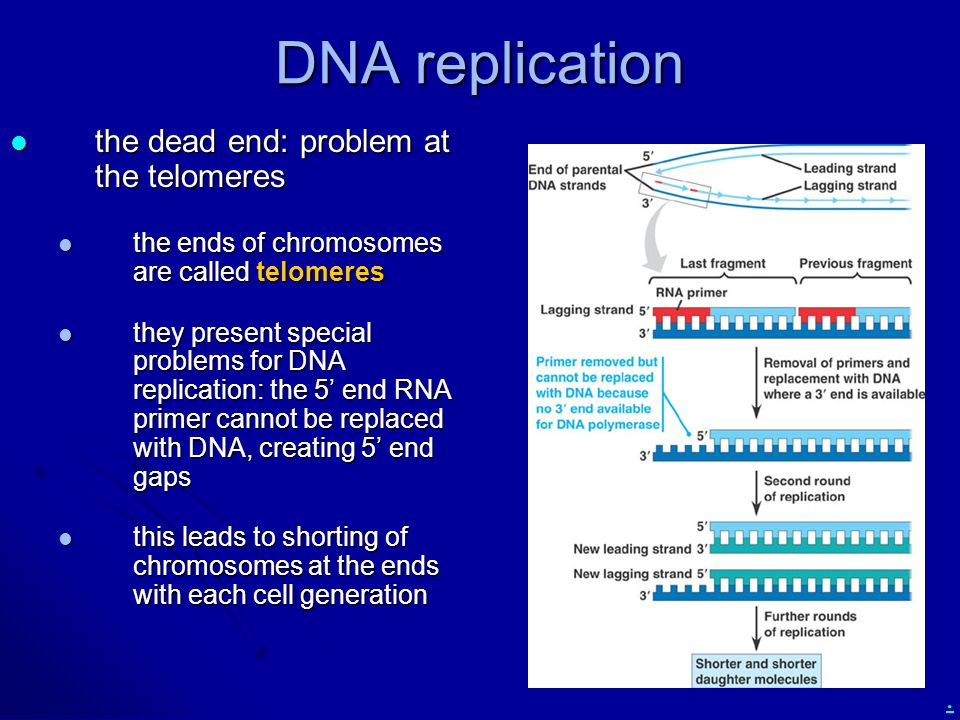 . DNA replication the dead end: problem at the telomeres the dead end: problem at the telomeres the ends of chromosomes are called telomeres the ends