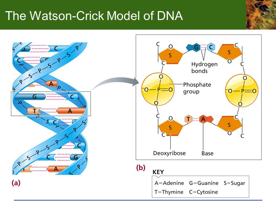 Three Important Properties of the DNA Model A genetic material must carry out two jobs: duplicate itself and control the development of the rest of the cell in a specific way. - Francis Crick, 1953 Complementary strands provide a mechanism for DNA replication—each strand serves as a template for a new double helix