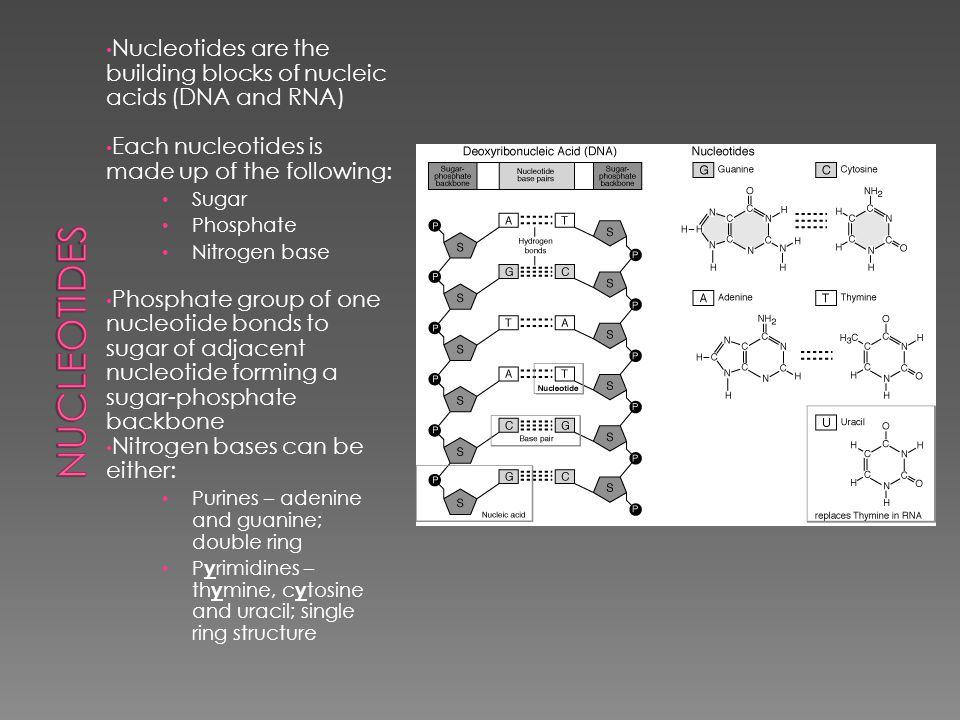 Deoxyribonucleic Acid Ribonucleic Acid  DNA › Sugar = deoxyribose › Nitrogen bases = A, T, G and C › Strands = double stranded  RNA › Sugar = ribose › Nitrogenous bases = A, U, G and C › Strands = single strand; 3 types
