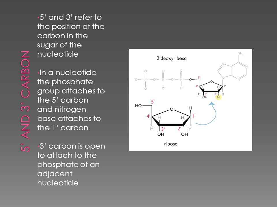  Double Helix – backbones/uprights consist of alternating sugars and phosphates; rungs are nitrogen bases; nitrogen bases are held together by hydrogen bonding;  The two strands run in opposite directions – we say they are antiparrell  Adenine bonds to Thymine; Guanine bonds to Cytosine
