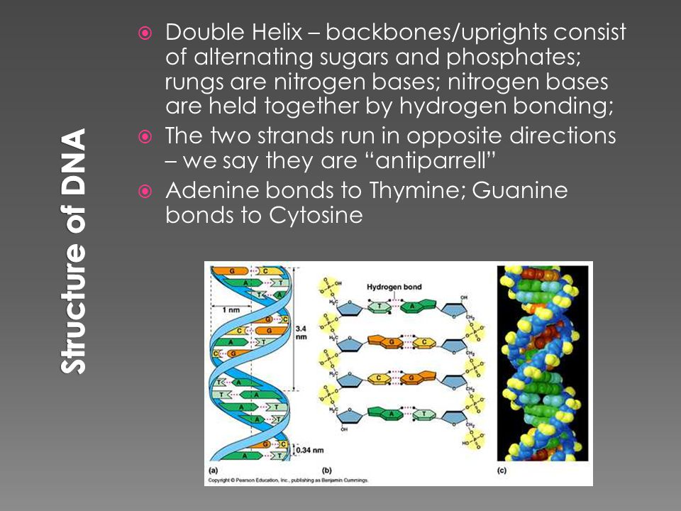  Double Helix – backbones/uprights consist of alternating sugars and phosphates; rungs are nitrogen bases; nitrogen bases are held together by hydrogen bonding;  The two strands run in opposite directions – we say they are antiparrell  Adenine bonds to Thymine; Guanine bonds to Cytosine
