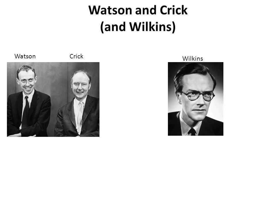 Watson and Crick (and Wilkins) WatsonCrick Wilkins