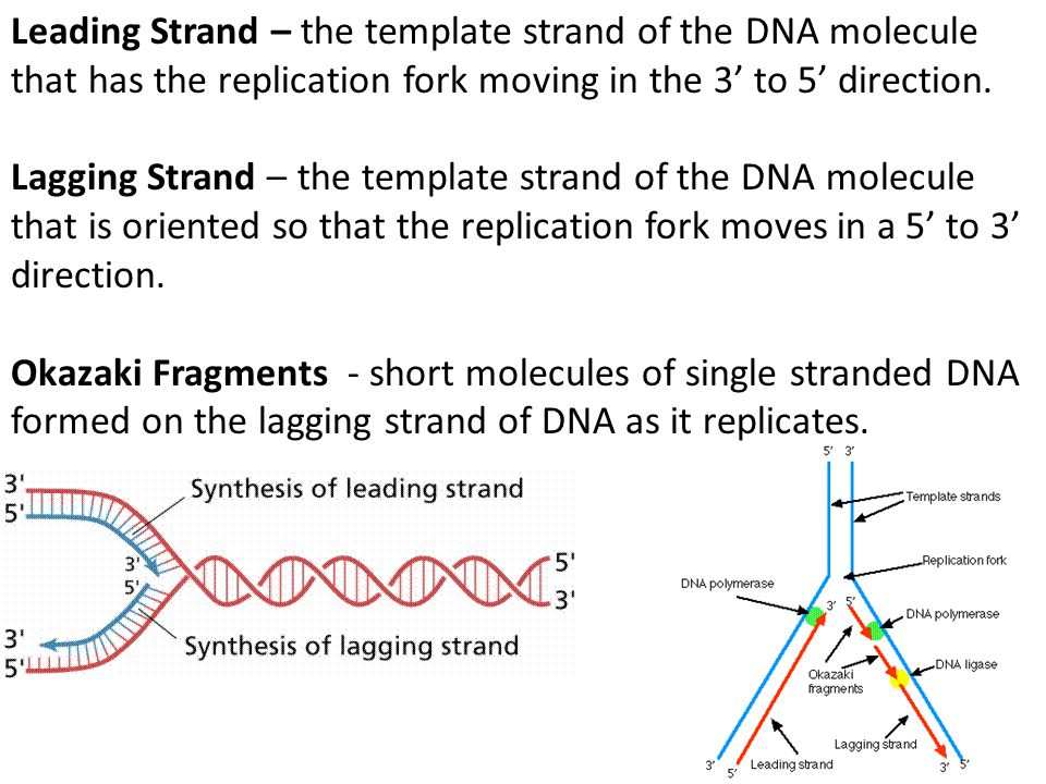 Leading Strand – the template strand of the DNA molecule that has the replication fork moving in the 3' to 5' direction. Lagging Strand – the template