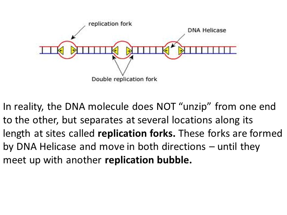 "In reality, the DNA molecule does NOT ""unzip"" from one end to the other, but separates at several locations along its length at sites called replicati"