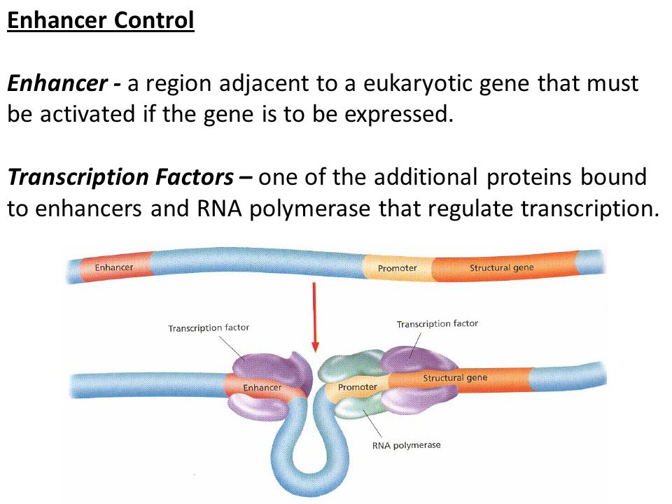 Enhancer Control Enhancer - a region adjacent to a eukaryotic gene that must be activated if the gene is to be expressed. Transcription Factors – one