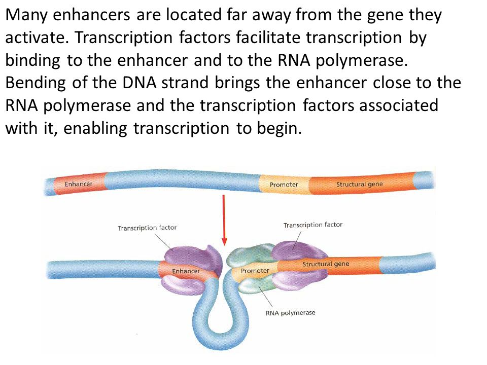 Many enhancers are located far away from the gene they activate. Transcription factors facilitate transcription by binding to the enhancer and to the