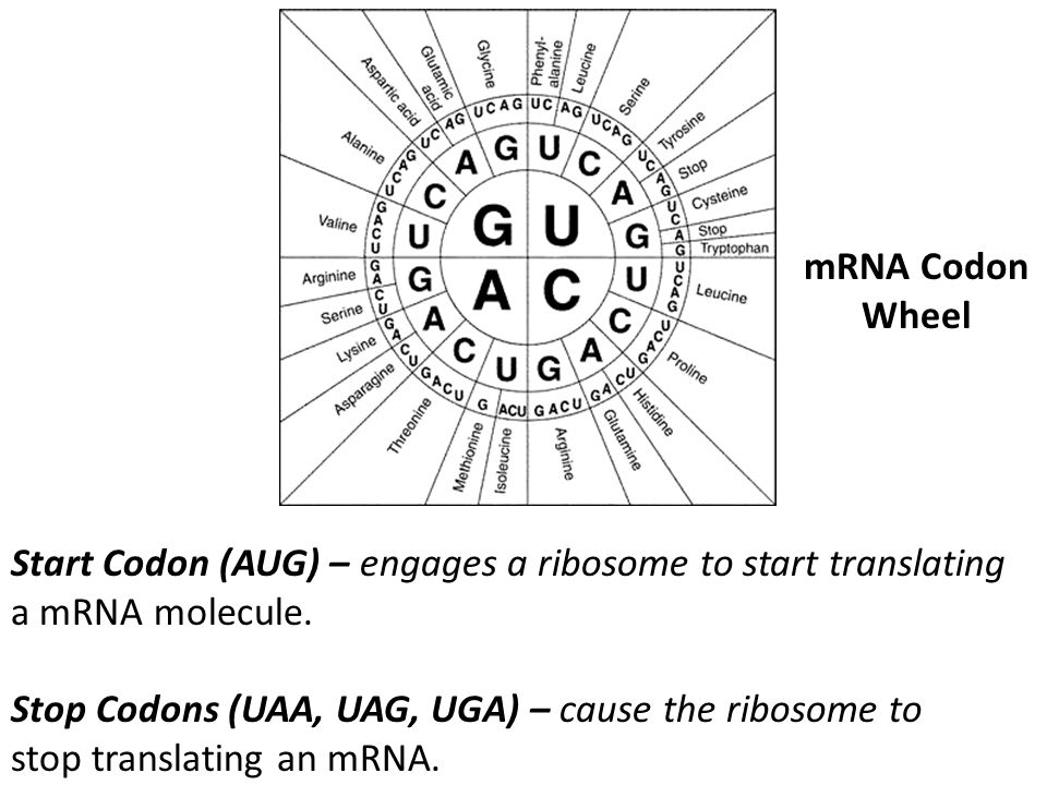 mRNA Codon Wheel Start Codon (AUG) – engages a ribosome to start translating a mRNA molecule. Stop Codons (UAA, UAG, UGA) – cause the ribosome to stop