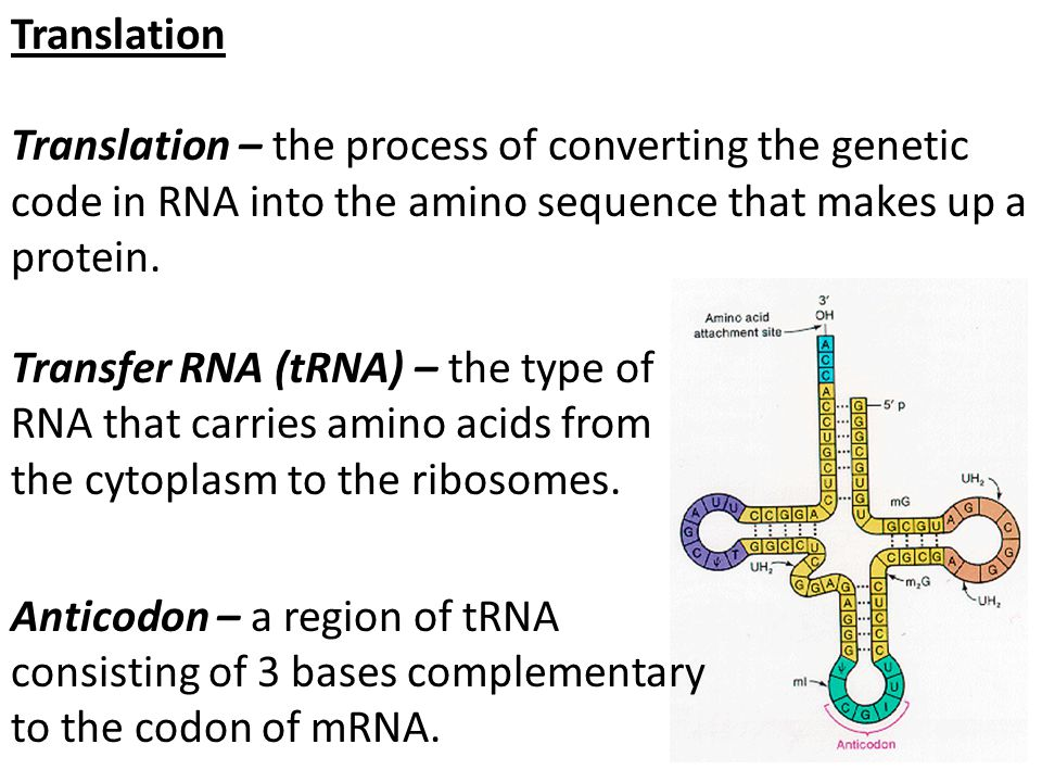 Translation Translation – the process of converting the genetic code in RNA into the amino sequence that makes up a protein. Transfer RNA (tRNA) – the