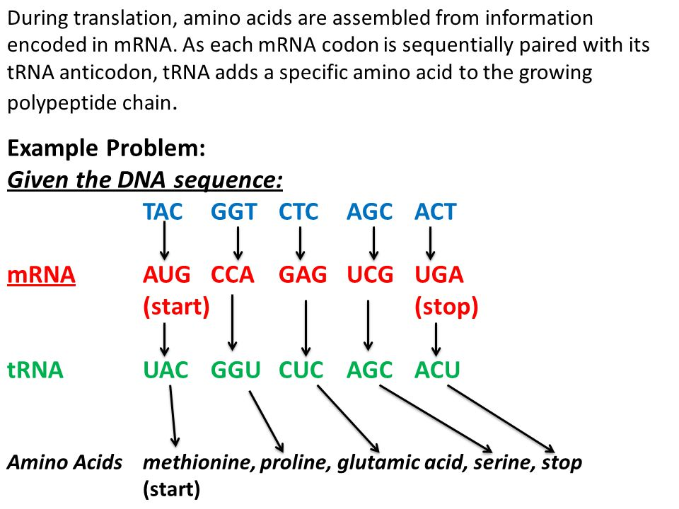 During translation, amino acids are assembled from information encoded in mRNA. As each mRNA codon is sequentially paired with its tRNA anticodon, tRN