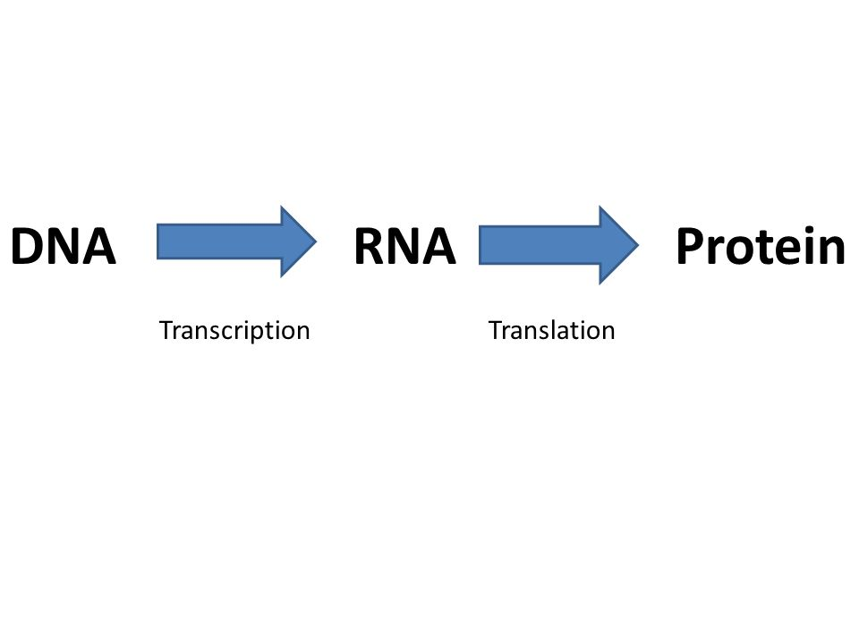 DNARNA Protein TranscriptionTranslation