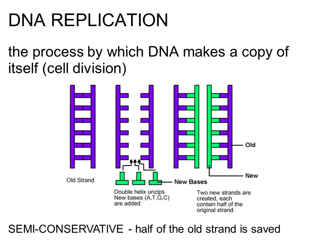 DNA REPLICATION the process by which DNA makes a copy of itself (cell division) SEMI-CONSERVATIVE - half of the old strand is saved