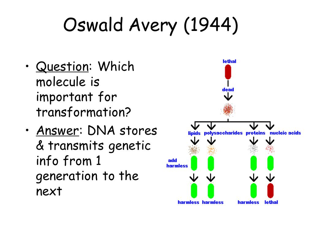 Oswald Avery (1944) Question: Which molecule is important for transformation? Answer: DNA stores & transmits genetic info from 1 generation to the nex