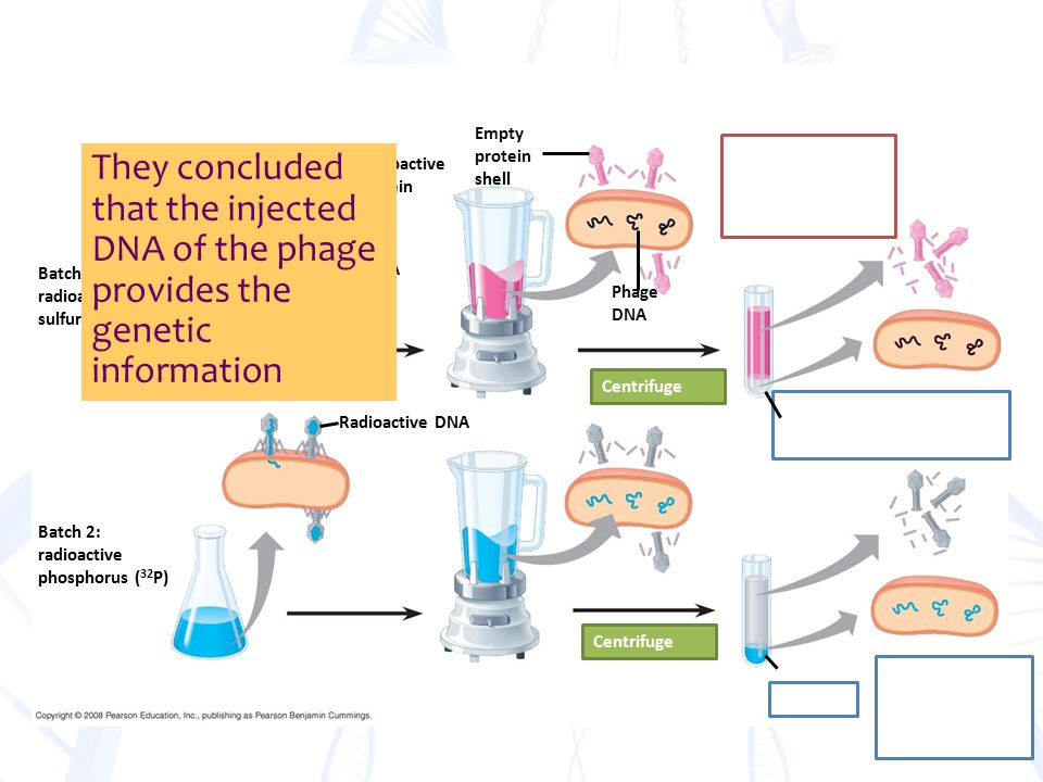 Phage DNA Bacterial cell Radioactive protein Radioactive DNA Batch 1: radioactive sulfur ( 35 S) Batch 2: radioactive phosphorus ( 32 P) Empty protein shell Phage DNA Centrifuge They concluded that the injected DNA of the phage provides the genetic information