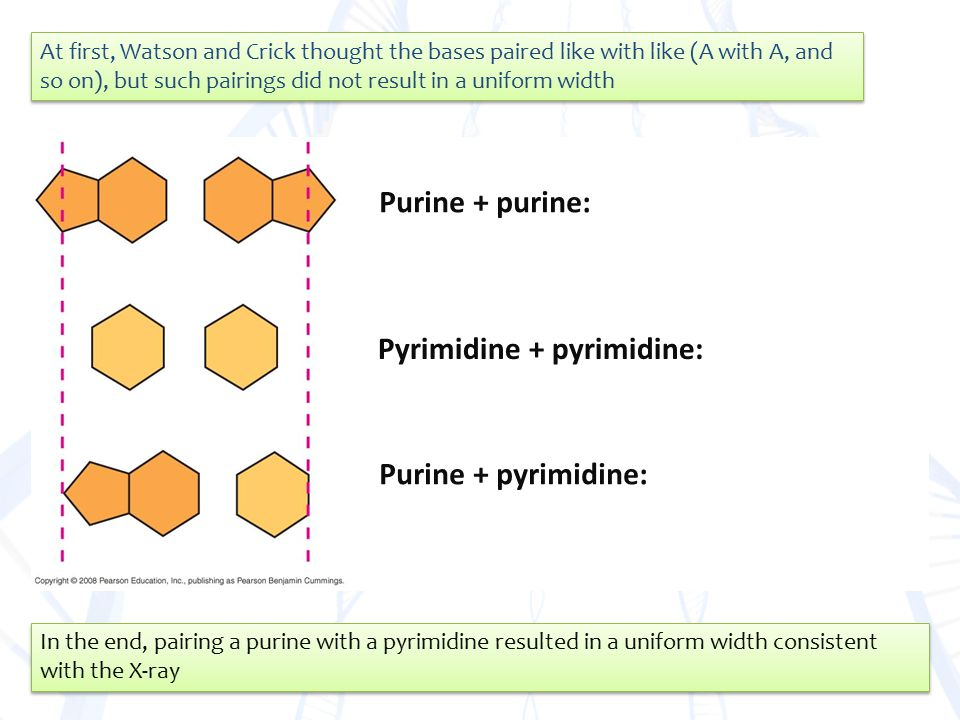 Purine + purine: Pyrimidine + pyrimidine: Purine + pyrimidine: At first, Watson and Crick thought the bases paired like with like (A with A, and so on), but such pairings did not result in a uniform width In the end, pairing a purine with a pyrimidine resulted in a uniform width consistent with the X-ray