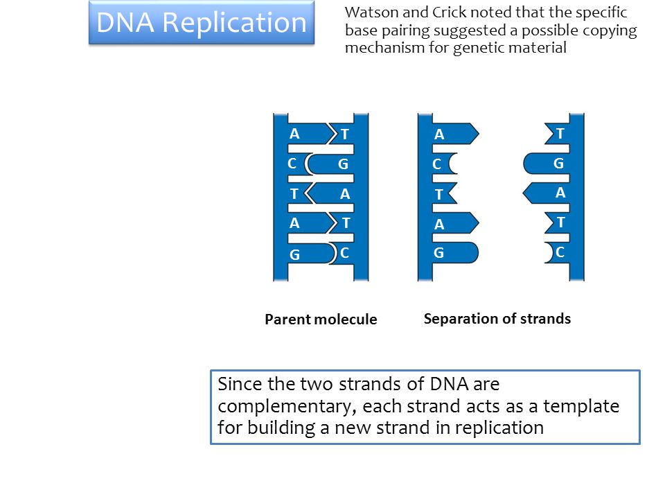 A T G C TA TA G C A T G C T A T A G C Parent molecule Separation of strands DNA Replication Watson and Crick noted that the specific base pairing suggested a possible copying mechanism for genetic material Since the two strands of DNA are complementary, each strand acts as a template for building a new strand in replication