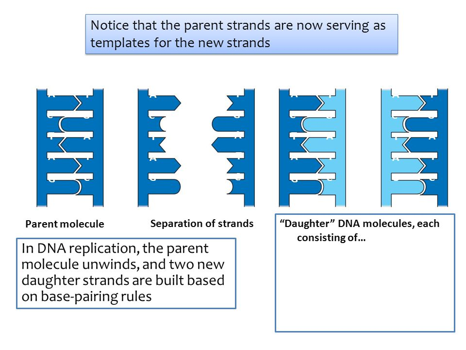A T G C TA TA G C Parent molecule AT GC T A T A GC Daughter DNA molecules, each consisting of… Separation of strands A T G C TA TA G C A T G C T A T A G C Notice that the parent strands are now serving as templates for the new strands In DNA replication, the parent molecule unwinds, and two new daughter strands are built based on base-pairing rules