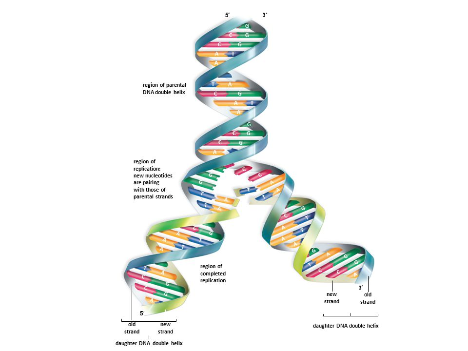 region of parental DNA double helix region of replication: new nucleotides are pairing with those of parental strands region of completed replication old strand new strand daughter DNA double helix A A A A A A A A A A A A A A A A A A A A T T T T T T T T T T T T T G G G G G G G G G G G G G G G G C C C C C C C C C C C C C old strand new strand