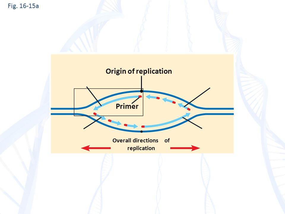 Fig. 16-15a Origin of replication Primer Overall directions of replication