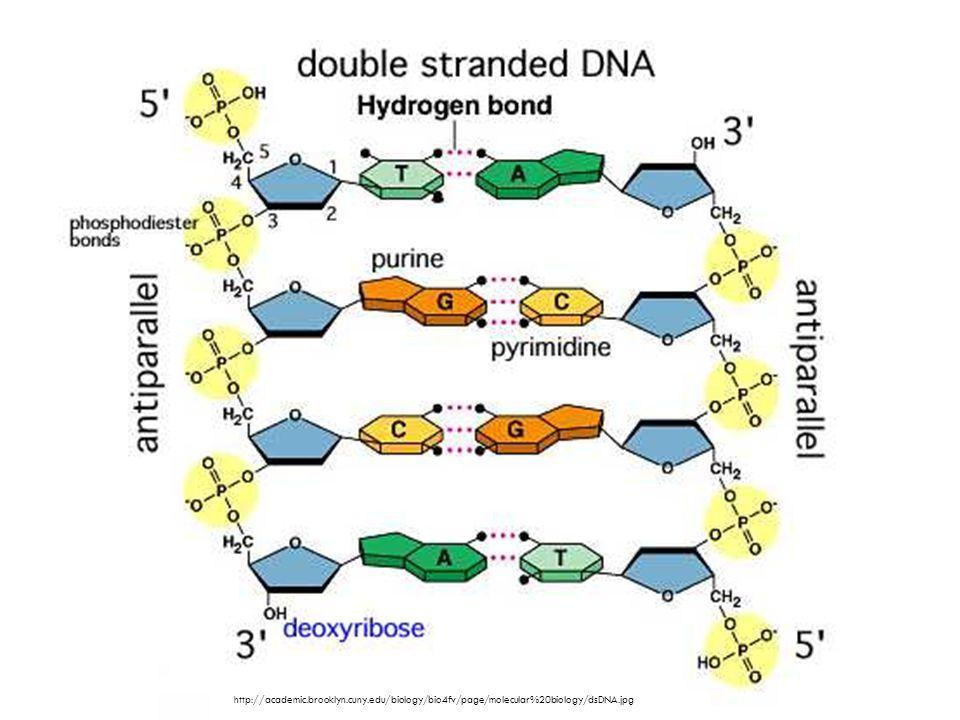 http://academic.brooklyn.cuny.edu/biology/bio4fv/page/molecular%20biology/dsDNA.jpg