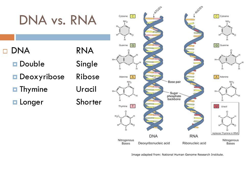 DNA vs. RNA  DNARNA  DoubleSingle  DeoxyriboseRibose  ThymineUracil  LongerShorter