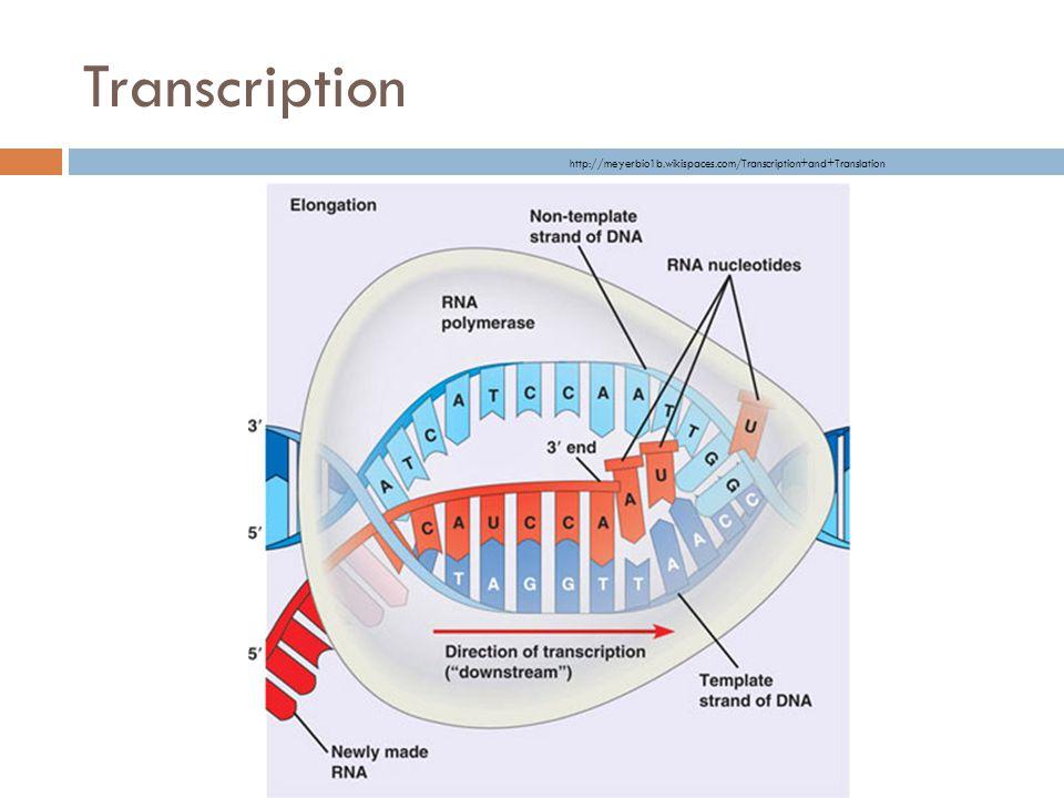 Transcription http://meyerbio1b.wikispaces.com/Transcription+and+Translation
