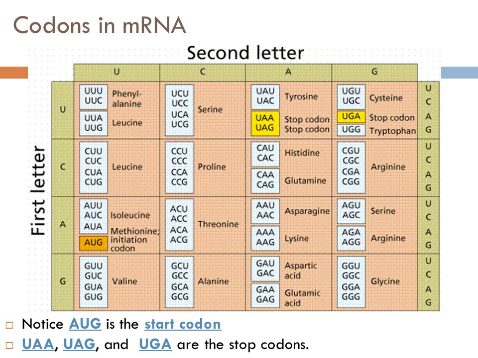 Codons in mRNA  Notice AUG is the start codon  UAA, UAG, and UGA are the stop codons.